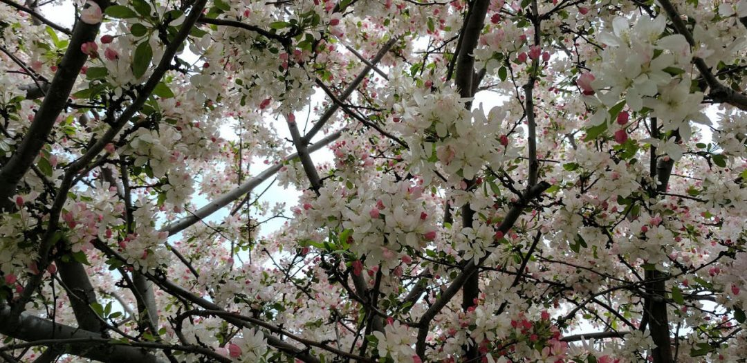 Spring at lastSaratoga Blossom Festival