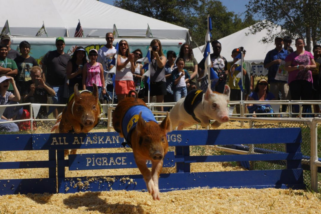 County-Fair-All-Alaskan-Racing-Pigs