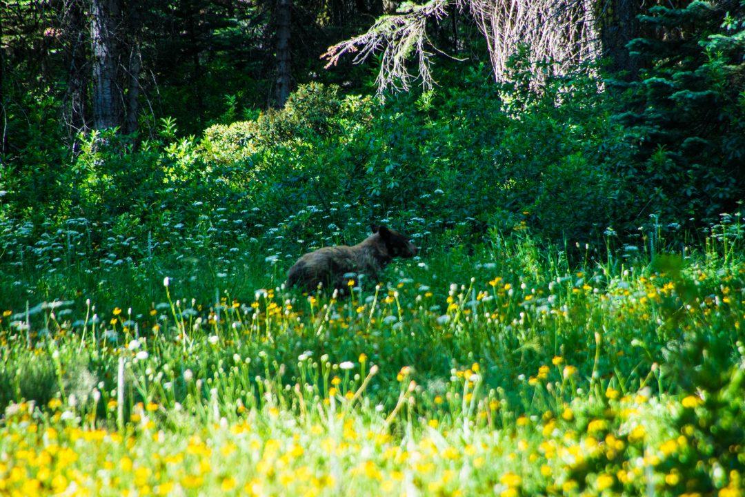 Two days in Yosemite, bear