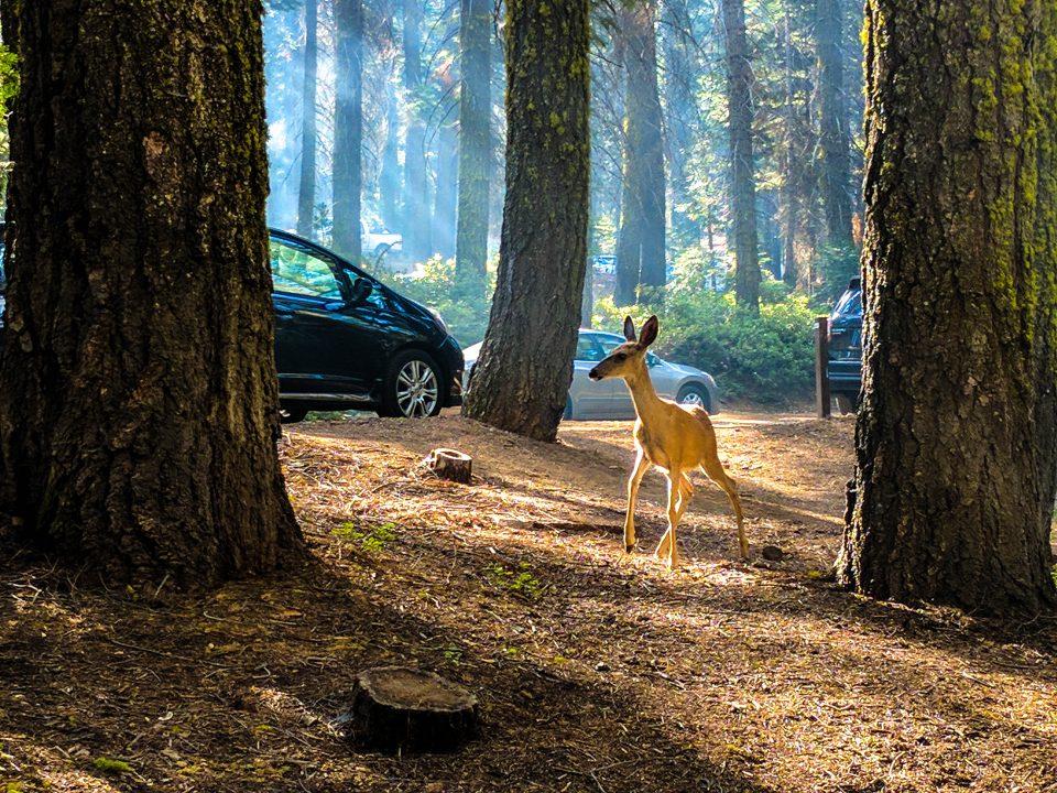 Two days in Yosemite Deer