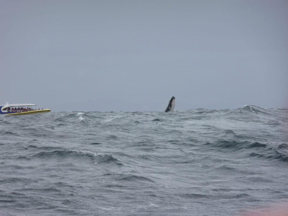 Breaching whale Bruny Island