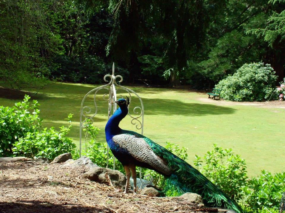 Peacock at Cataract Gorge