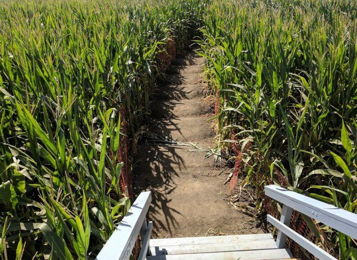 Cool Patch Pumpkins Corn Maze