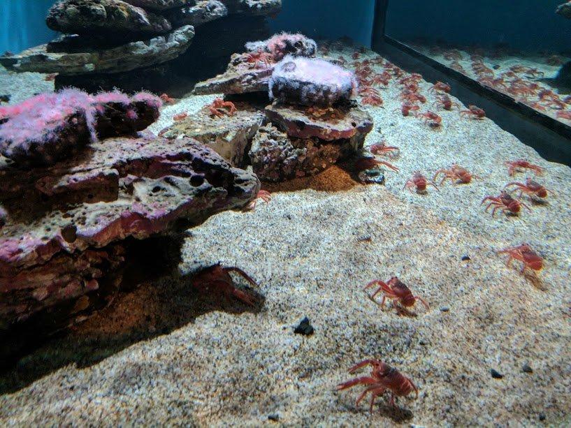 Monterey Bay Aquarium crabs