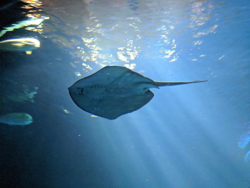 Sting Ray at the Monterey Bay Aquarium