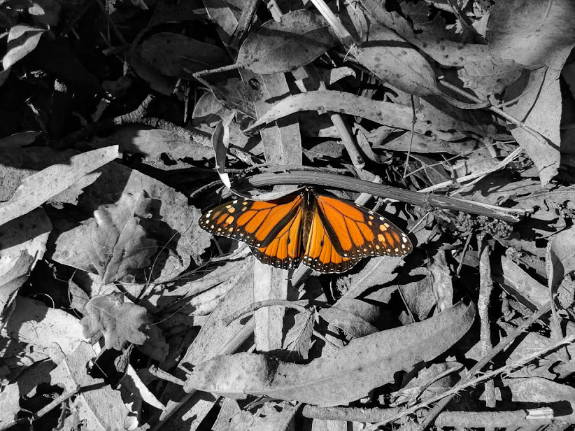 The Santa Cruz Monarch Butterfly Preserve