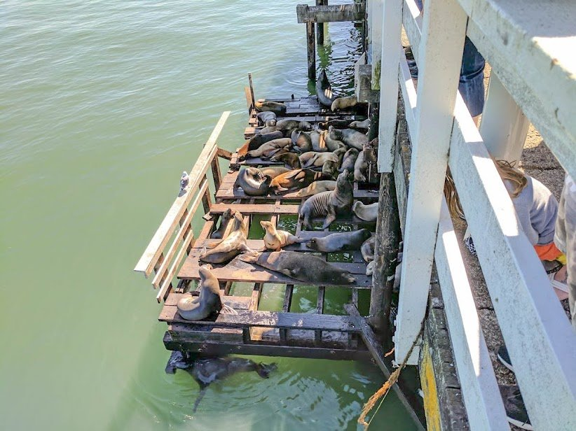 Sealions relax on the side of the Santa Cruz Wharf