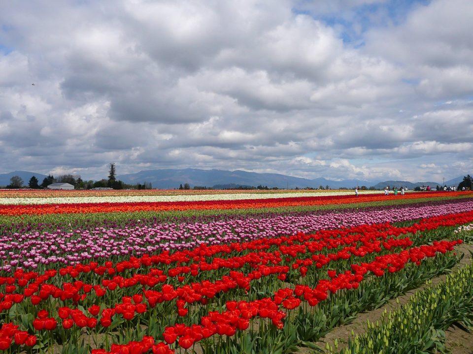 Skaggit Valley Tulip Festival