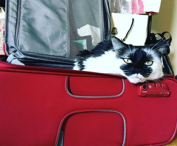 Cat packed in a suitcase