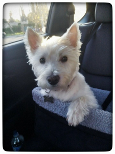 West Highland Terrier, Juniper Roo