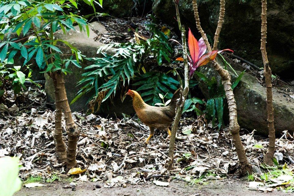 Maui bush chickens
