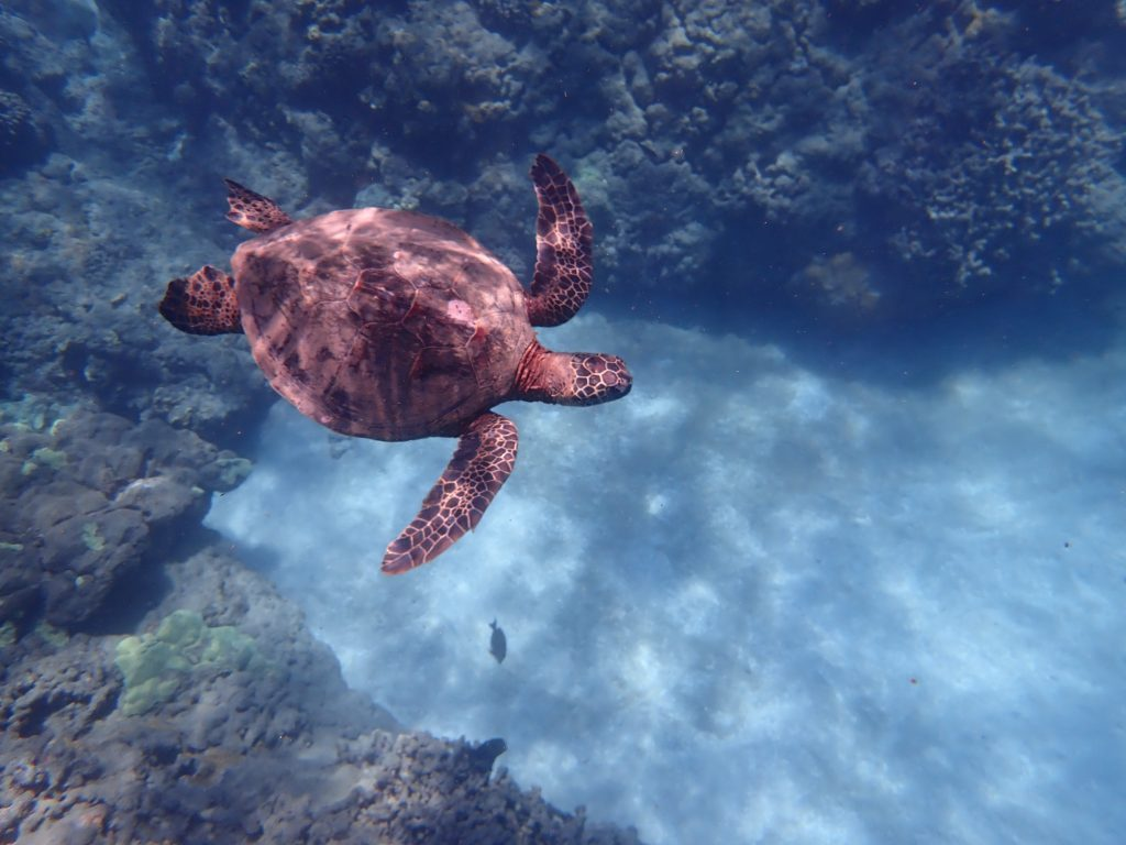 Snorkel with turtles on Maui