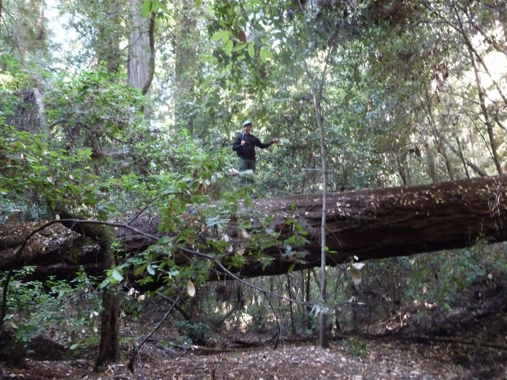 Hiker on a fallen Redwood tree