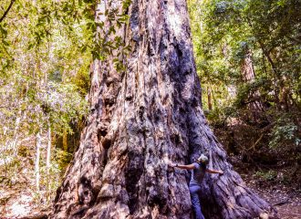 Portola Redwood State Park Old Tree