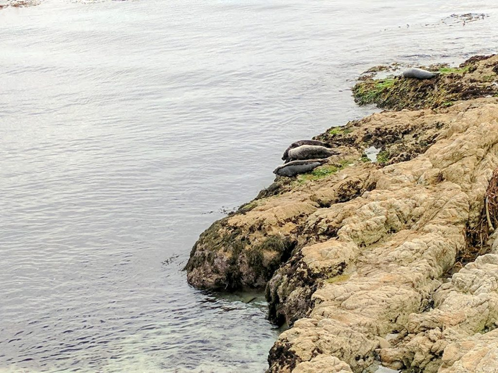 Seals lazing on the beach at Cypress Point Lookout