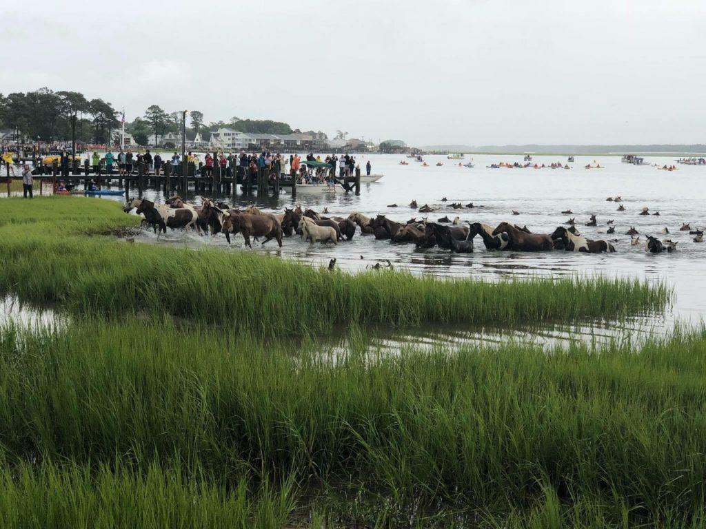 Pony Swim at Chincoteague Island