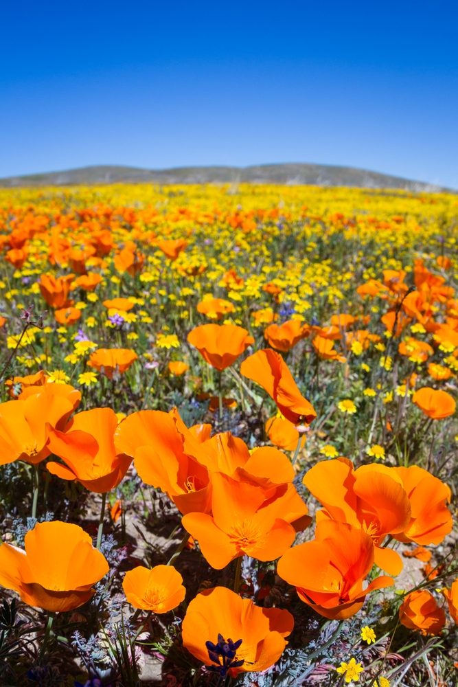 California poppies in Southern California