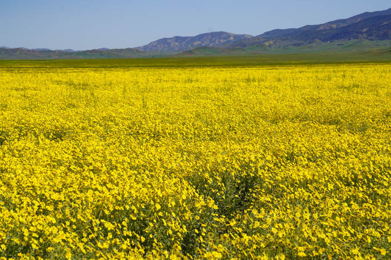 Yellow wildflowers at Carrizo Plain National Monument