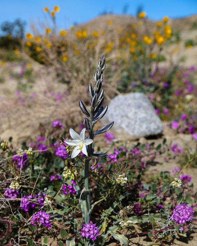Desert Lily in Anza-Borrego Desert State Park