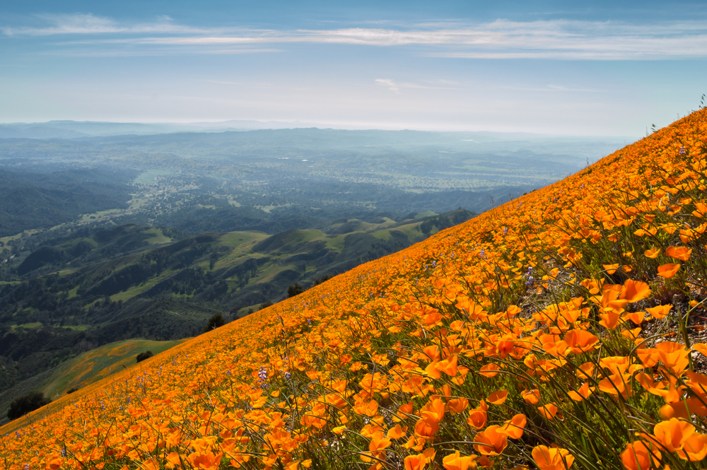 Orange California poppies blooming on the side of Figueroa Mountain