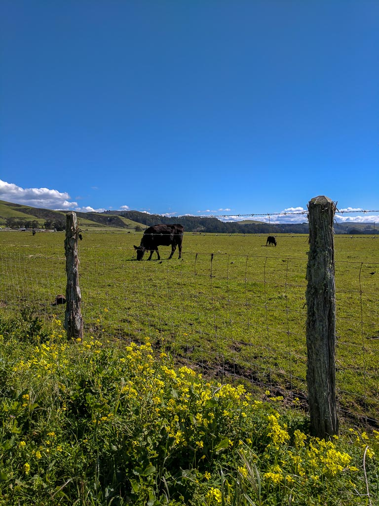 Black cows in a field eating grass surrounded by yellow wildflowers