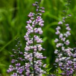 Purple lupine wildflowers