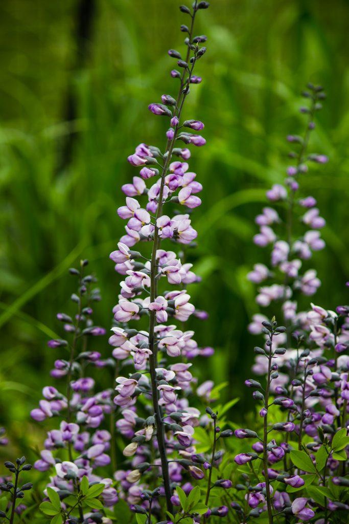 Purple lupine wildflowers