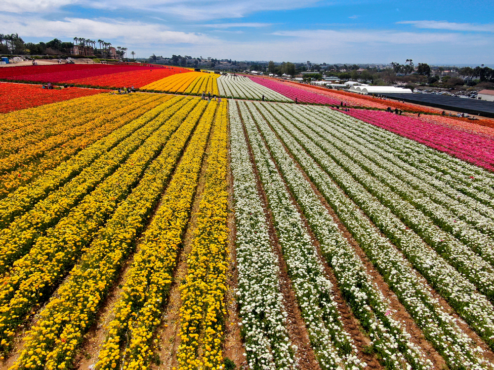 Arial view of flower fields. Rows of white, yellow, red, and pink flowers