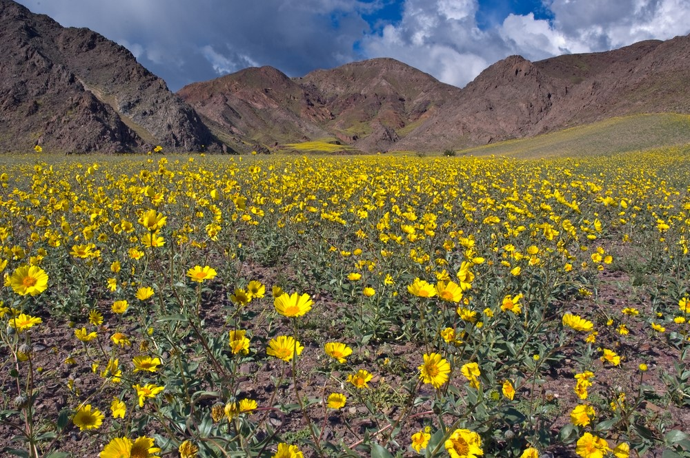 Yellow wildflowers in Death Valley National Park