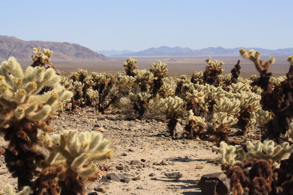 Cactii in Joshua Tree National Park