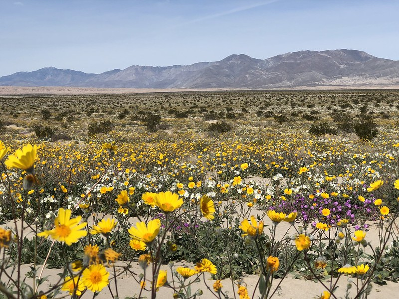 Yellow, purple, and white wildflowers cover the desert floor