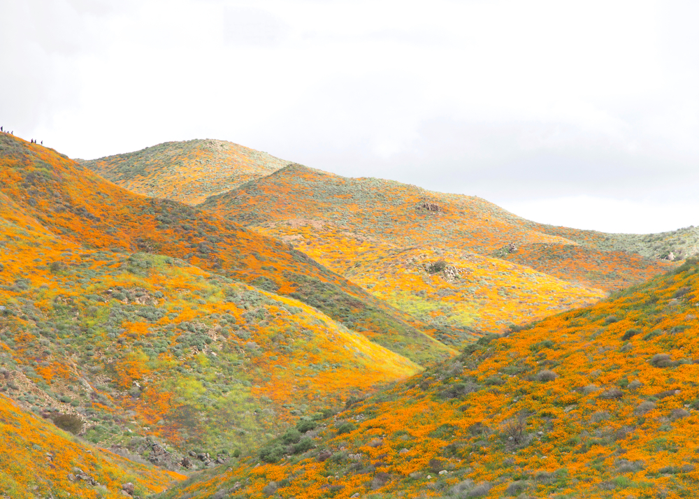 California hills covered in yellow poppies and green grass